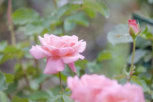 バラの花の写真素材 [FYI01253237]