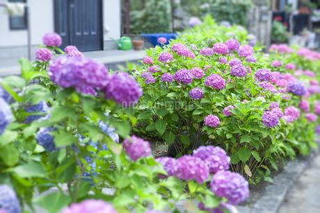 紫陽花の写真素材 [FYI01253240]