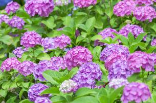 紫陽花の写真素材 [FYI01253243]