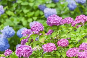 紫陽花の写真素材 [FYI01253244]