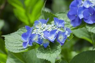 紫陽花の写真素材 [FYI01253245]