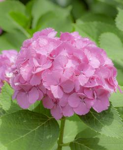 紫陽花の写真素材 [FYI01253247]