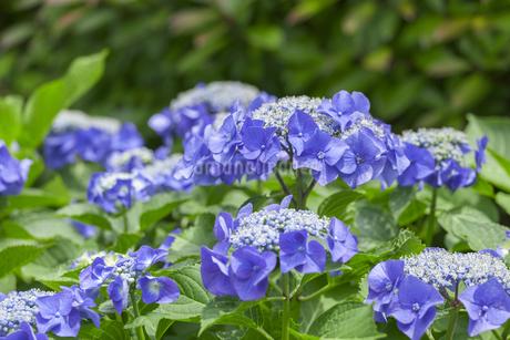 紫陽花の写真素材 [FYI01253249]
