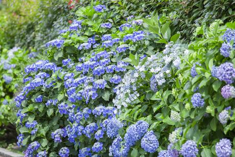 紫陽花の写真素材 [FYI01253250]