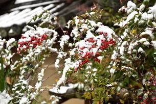 雪と南天の写真素材 [FYI01253276]
