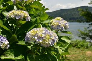 紫陽花の写真素材 [FYI01253282]