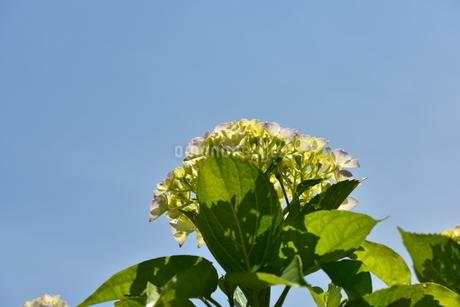 紫陽花の写真素材 [FYI01253283]