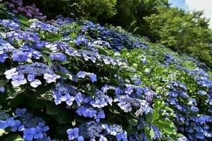 紫陽花の写真素材 [FYI01253284]