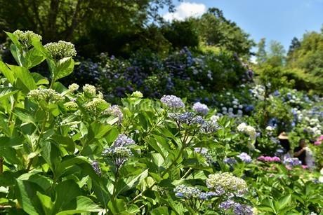 紫陽花の写真素材 [FYI01253285]
