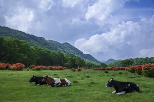 牛とレンゲツツジ咲く牧場の写真素材 [FYI01253316]
