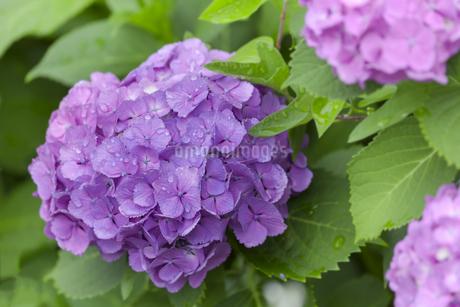 紫陽花の写真素材 [FYI01253317]