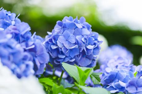 紫陽花の写真素材 [FYI01253318]