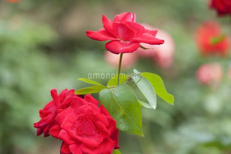 ばらの花の写真素材 [FYI01253319]