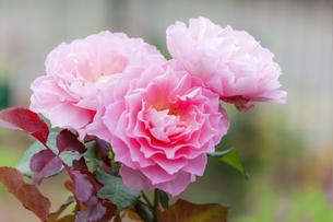 ばらの花の写真素材 [FYI01253320]