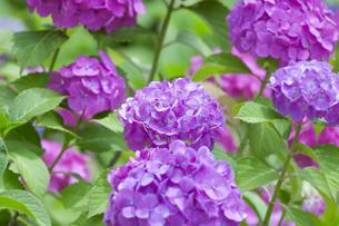 紫陽花の写真素材 [FYI01253321]