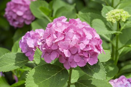 紫陽花の写真素材 [FYI01253322]