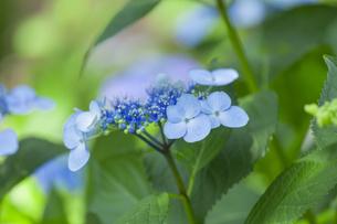 紫陽花の写真素材 [FYI01253329]