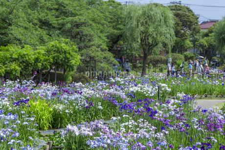 堀切菖蒲園の写真素材 [FYI01253345]