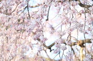 桜の写真素材 [FYI01253409]