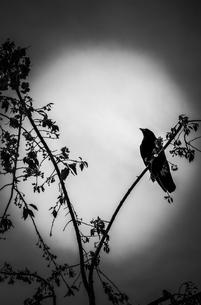 木の枝に止まるカラスの写真素材 [FYI01253414]