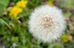 タンポポの種(綿毛)の写真素材 [FYI01253416]