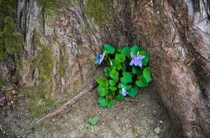 木の根元に咲くスミレの写真素材 [FYI01253417]