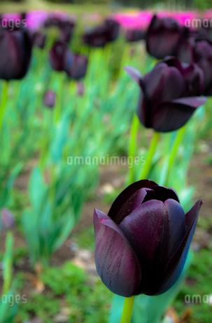 黒紫のチューリップの写真素材 [FYI01253418]
