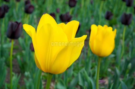 黄色と黒紫のチューリップの写真素材 [FYI01253420]