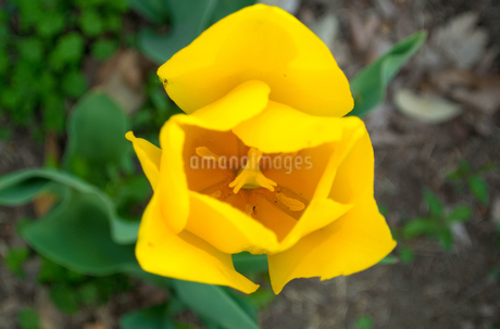黄色いチューリップの写真素材 [FYI01253421]