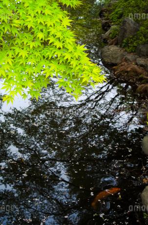 もみじの青葉と鯉の写真素材 [FYI01253424]