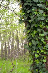 ツタが絡まる木の写真素材 [FYI01253425]