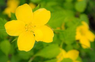 小さな黄色い花の写真素材 [FYI01253426]