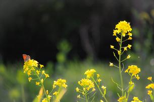 菜の花と蝶々の写真素材 [FYI01253427]