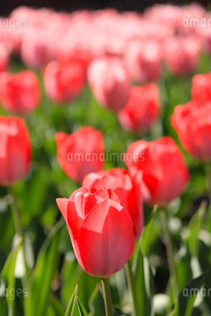 赤いチューリップの写真素材 [FYI01253431]