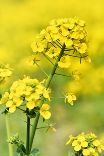 菜の花畑の写真素材 [FYI01253445]