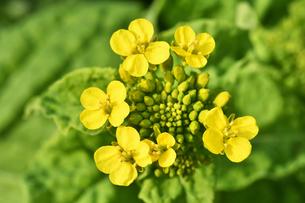 菜の花畑の写真素材 [FYI01253446]