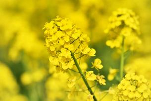 菜の花畑の写真素材 [FYI01253447]