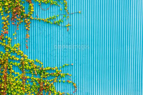 水色のトタンと蔦の写真素材 [FYI01253452]