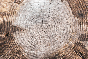 木の年輪 切り株の写真素材 [FYI01253478]