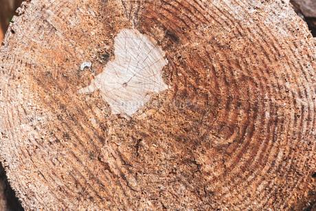 木の年輪 切り株の写真素材 [FYI01253479]