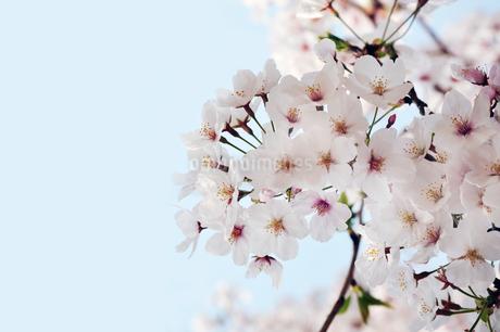 綺麗な桜の花の写真素材 [FYI01253510]