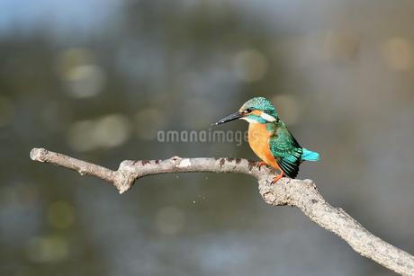 止まり木のカワセミの写真素材 [FYI01253511]