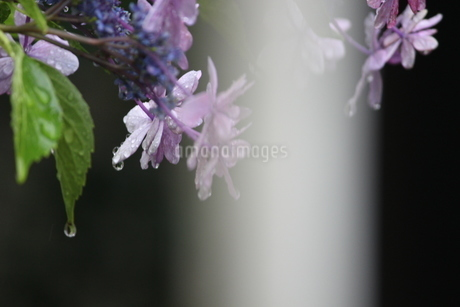紫陽花と影の写真素材 [FYI01253657]