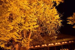 夜の大銀杏の写真素材 [FYI01253688]