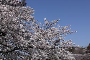 桜の木の写真素材 [FYI01253699]