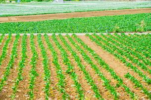 キャベツ畑のイメージの写真素材 [FYI01253729]