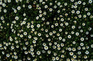 カモミール・マーガレットの壁紙の写真素材 [FYI01253731]