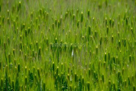 青い麦畑の写真素材 [FYI01253776]