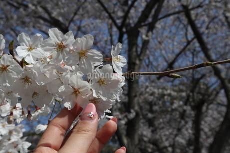桜の花の写真素材 [FYI01253832]