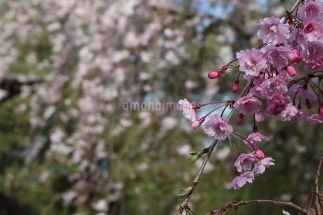 桜の写真素材 [FYI01253833]